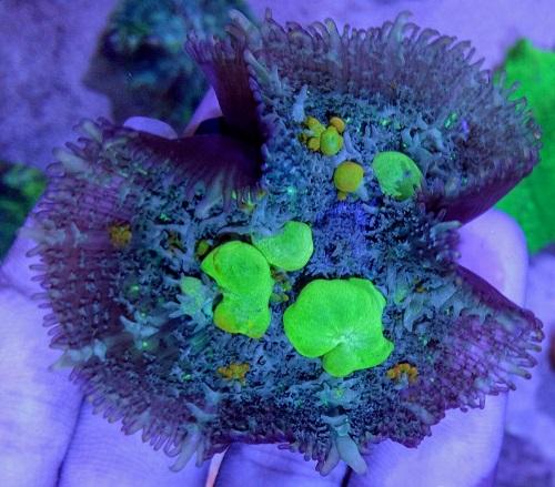 Stok coral masuk Pacific reef 5 september 2019 Thumbn38