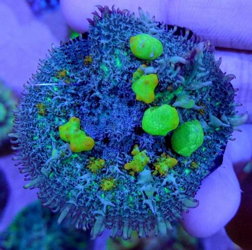 Stok coral masuk Pacific reef 5 september 2019 Thumbn40