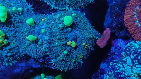 Stock coral masuk PACIFIC REEF 15 Desember 2019 Thumbn43