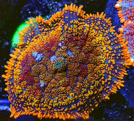 Stock coral masuk PACIFIC REEF 15 Desember 2019 Thumbn46