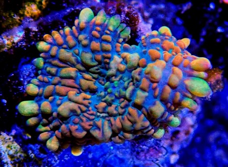 Stock coral masuk PACIFIC REEF 15 Desember 2019 Thumbn57