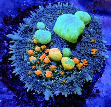Stock coral masuk PACIFIC REEF 15 Desember 2019 Thumbn60