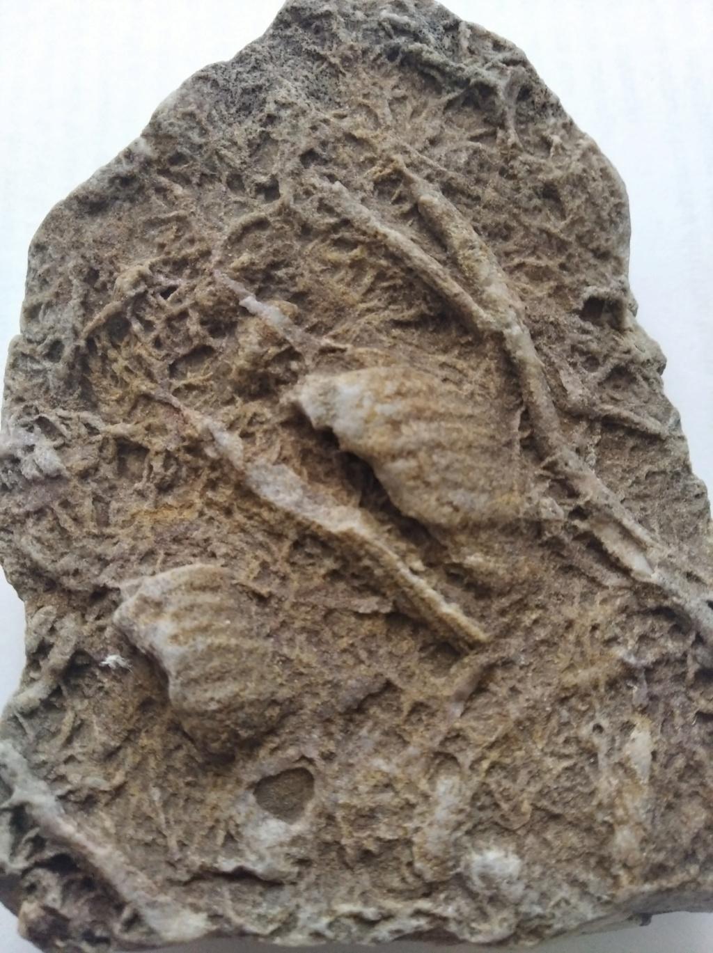 Ayuda identificación fósiles Img_2013