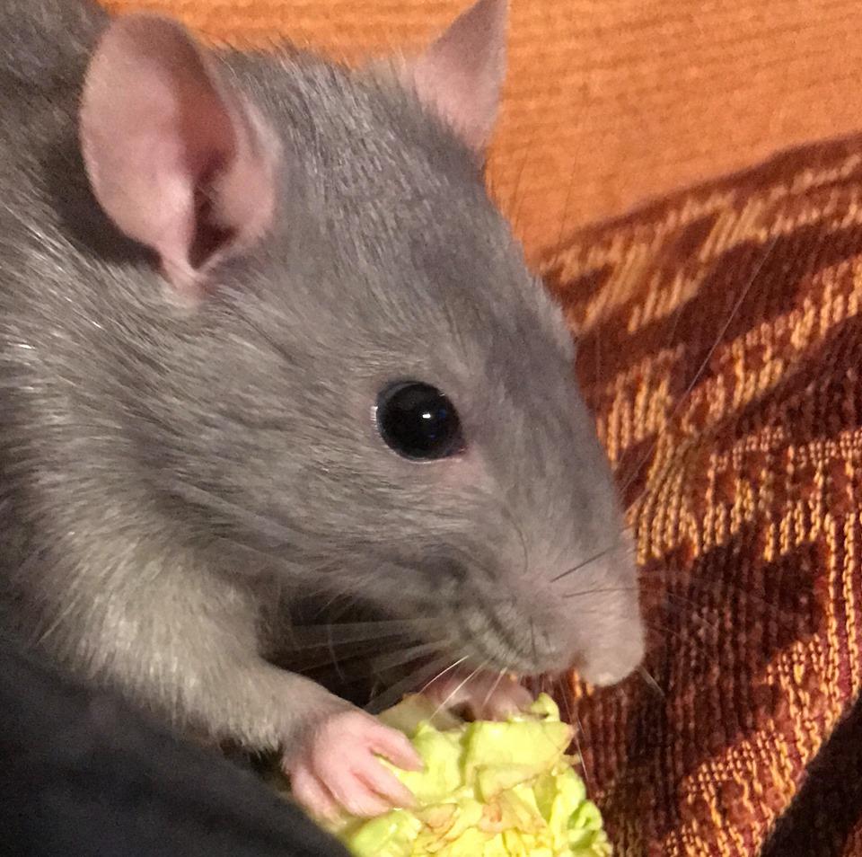 2 rattes 11 mois  78335211