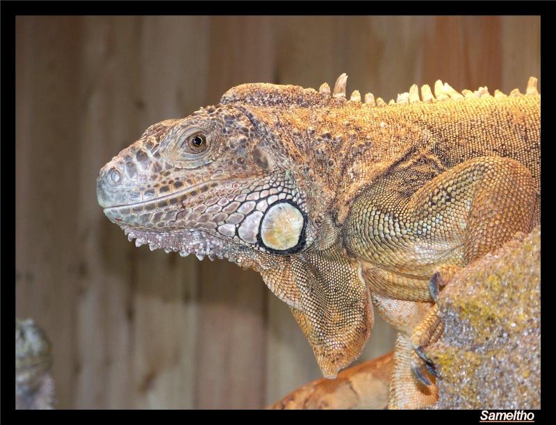 Iguane vert (iguana iguana) Zoo18-10