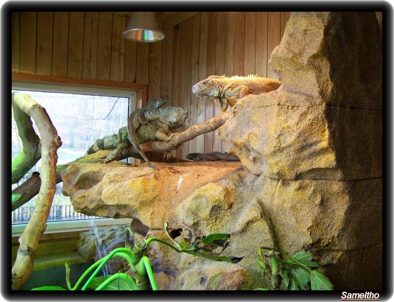 Iguane vert (iguana iguana) Zoo18-11