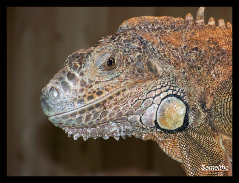 Iguane vert (iguana iguana) Zoo18-12