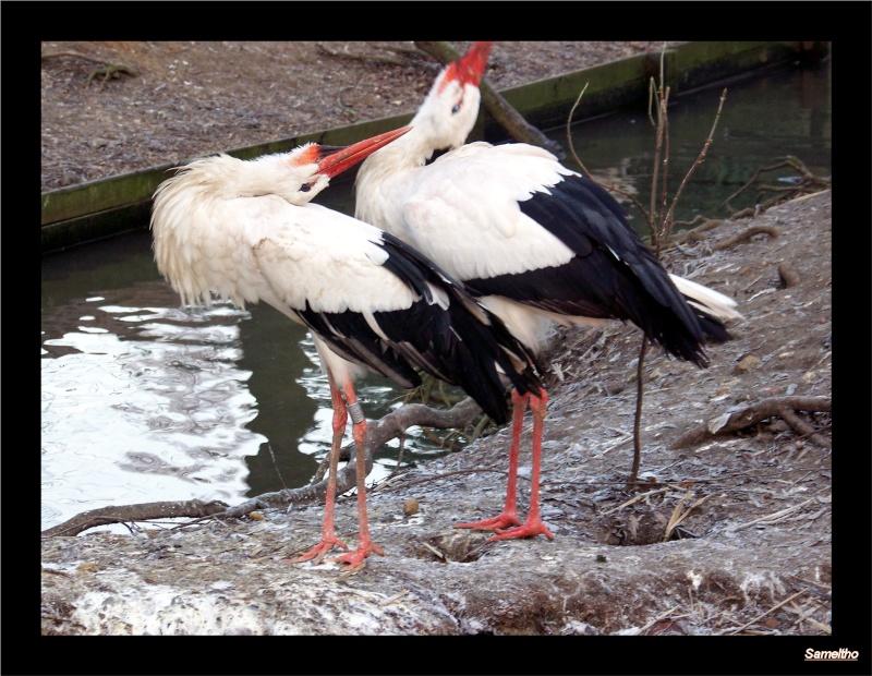 Cigogne blanche ( Ciconia ciconia ). Zoo18-13