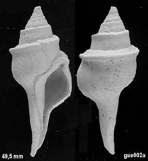 [résolu]Clavilithes scalaris (LAMARCK, 1816) Gue00210
