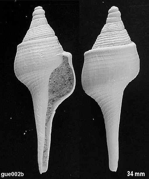 [résolu]Clavilithes scalaris (LAMARCK, 1816) Gue00211