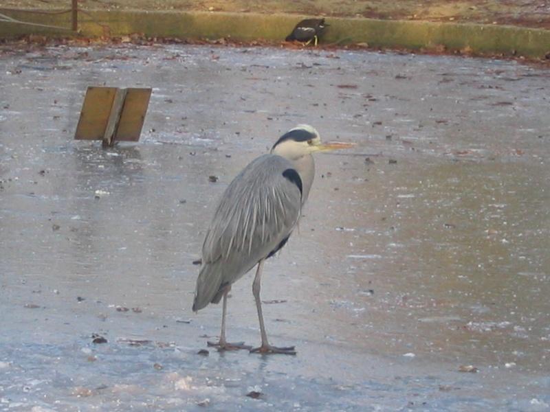 Le Heron du parc photo du jour Parc_d10