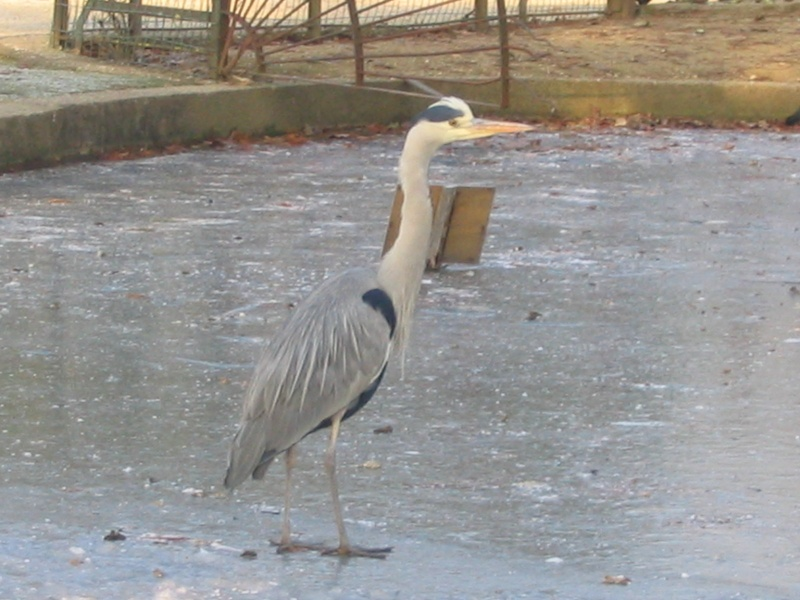 Le Heron du parc photo du jour Parc_d11