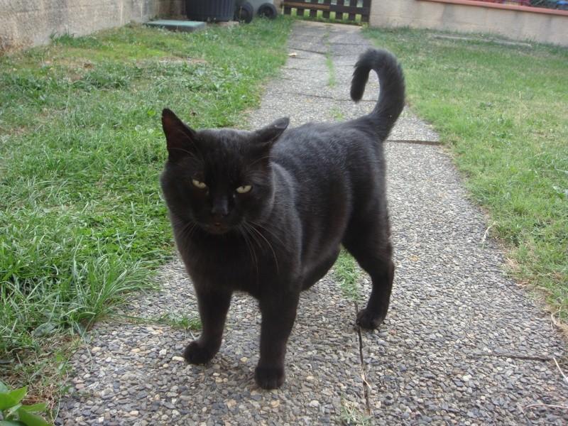 Trouvé à Tournefeuille, chat mâle noir Dsc04618
