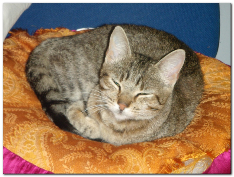 Trouvé à Colomiers, jeune chatte tigrée- Septembre 2010 Img210