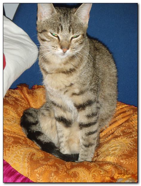 Trouvé à Colomiers, jeune chatte tigrée- Septembre 2010 Img310