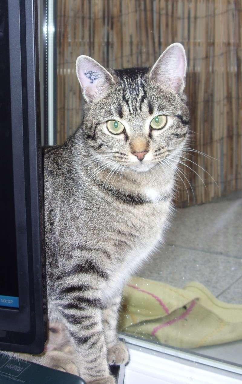 Perdue jeune chatte Tigrée aux Ramassiers (Colomiers) Avril 2011 Perdub14