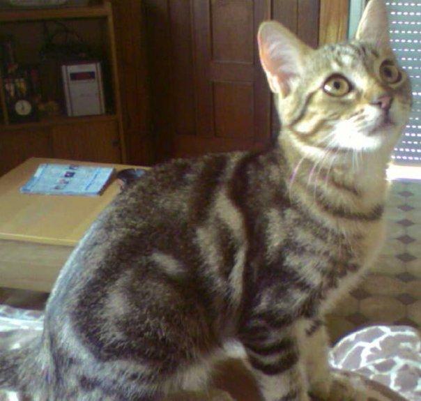 Perdu Twister, chat tigré-St Lys, 19.09.10 Perdut10