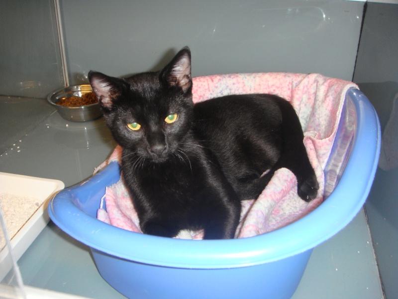 Trouvé, jeune chat noir, Colomiers Trouve10