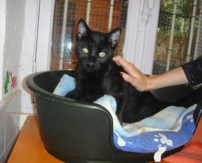 Trouvé, jeune chat noir, Colomiers Trouve11
