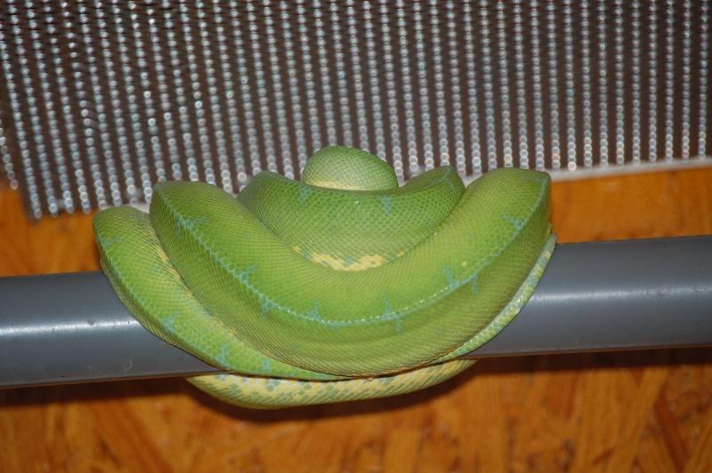 viridis Dsc_0028