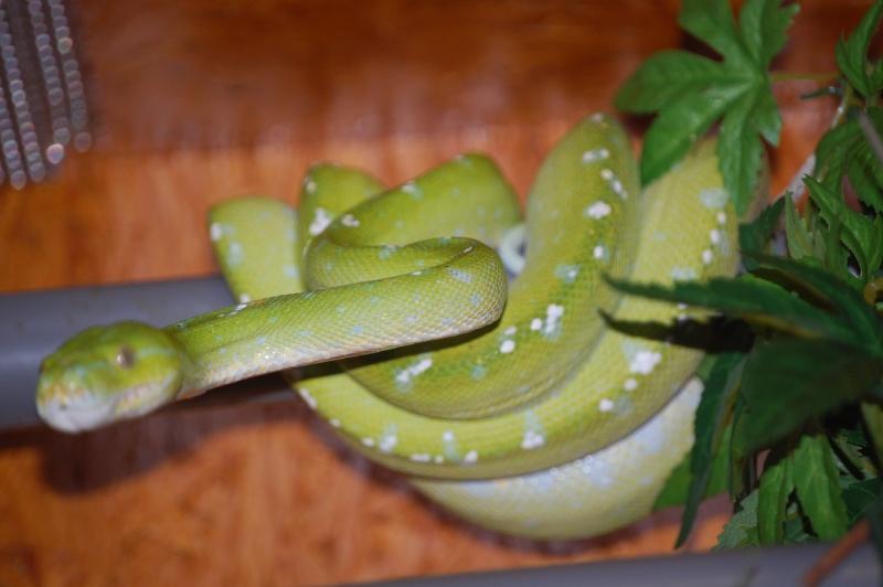 viridis Dsc_0030