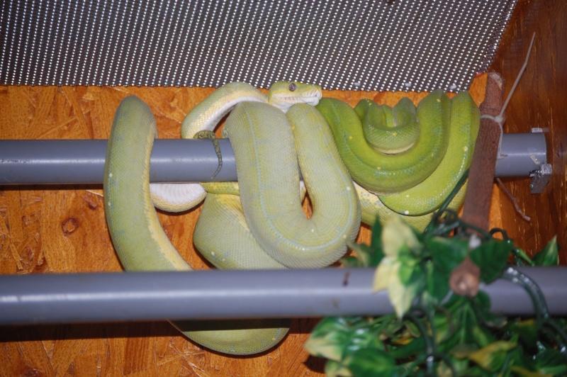viridis Dsc_0032