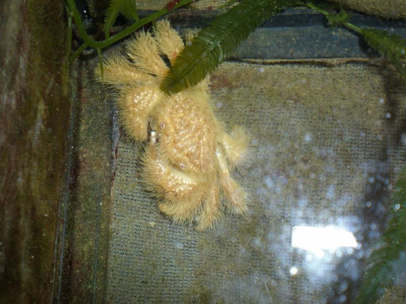 crabe a poils blanc ?!? Pa120210