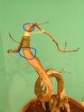 Cotinus coggygria à former, mais comment ? - Page 2 2007_111