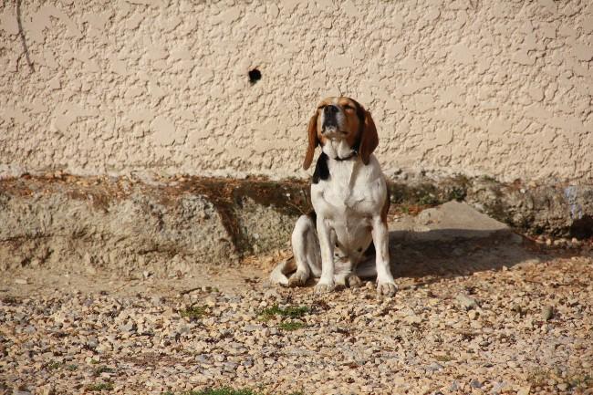 PEPETTE, beagle femelle, 2 ans (46) Img_7510