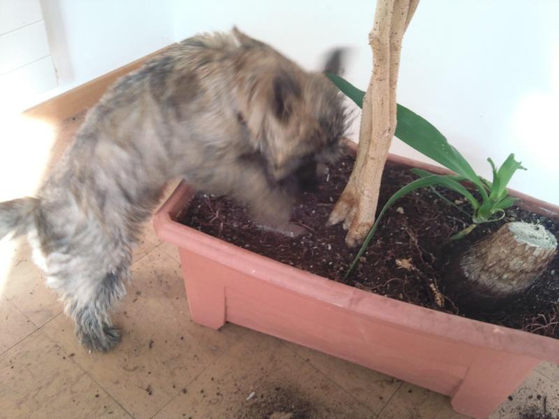 Alinka    cairn terrier Photo031