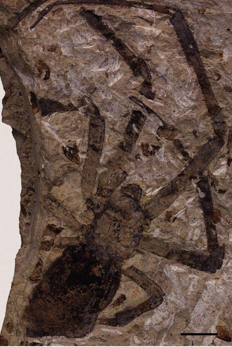 Paleontologie, l'actu... - Page 2 Araign10