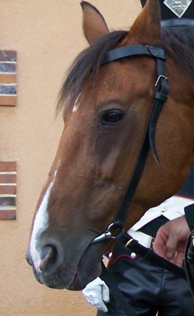 Templier à cheval. Andréa 90 mm 03080810