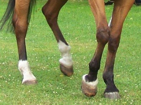Templier à cheval. Andréa 90 mm 03080811