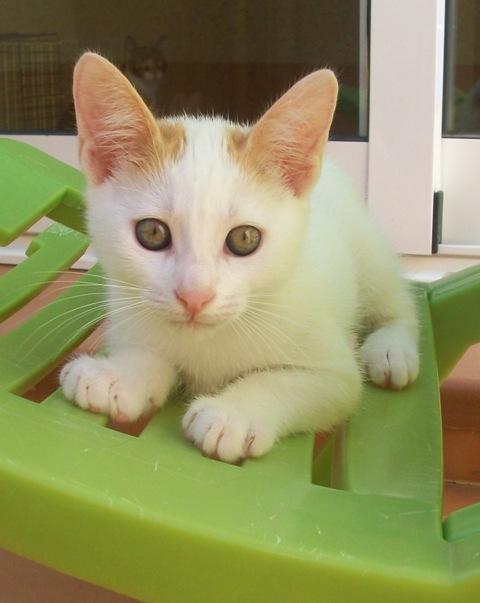 Ayuda para 3 gatitos de 2 meses. Los regalarán en un mercadillo Murcia 100_6911