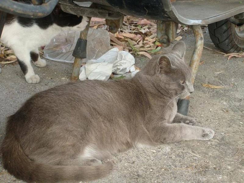 Otto y Niko, dos azul ruso que terminará en la perrera.Cádiz Azul210