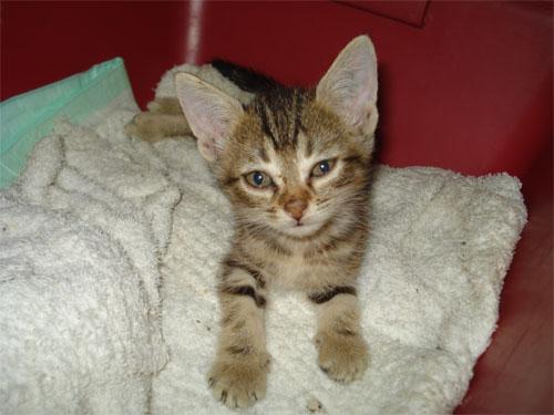 Rocio, gatita que ha parido bajo un coche. Madrid Asoc. GATA Bobi10