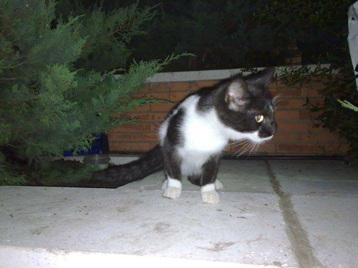 Chiqui,gatito de 3 meses en la calle en grave peligro Madrid Chiqui12