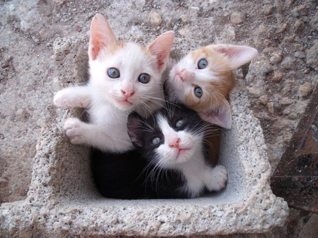 Ayuda para 3 gatitos de 2 meses. Los regalarán en un mercadillo Murcia Dscf2910