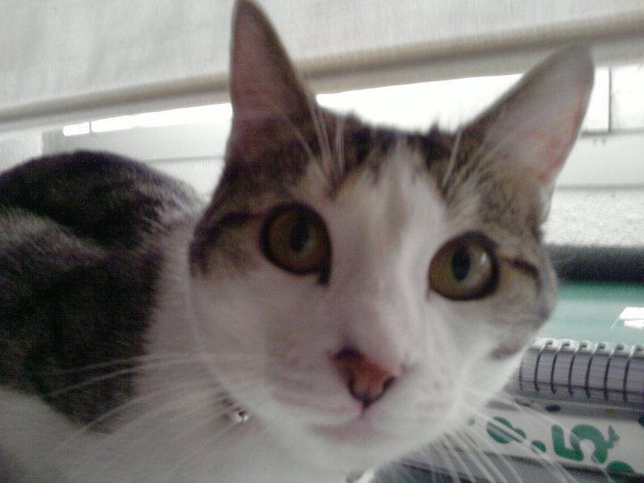 Adopción urgente para Lola, gatita de año y medio. Ya no la quieren Madrid Lola110