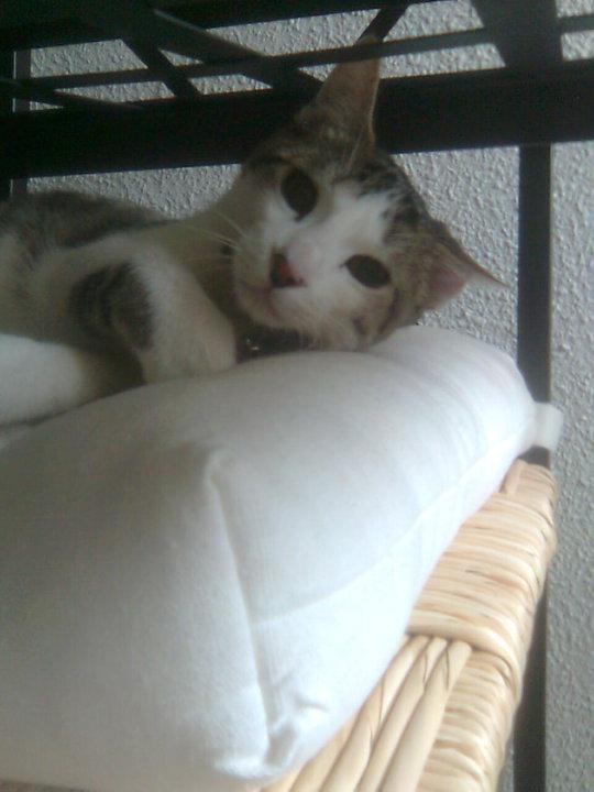 Adopción urgente para Lola, gatita de año y medio. Ya no la quieren Madrid Lola210