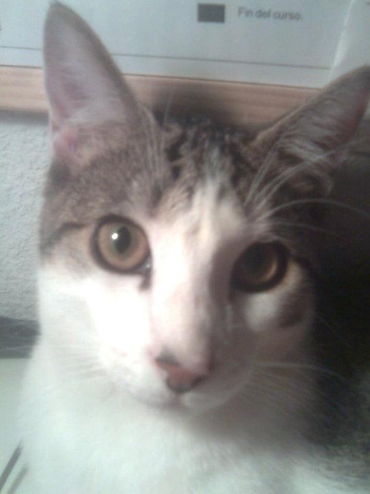Adopción urgente para Lola, gatita de año y medio. Ya no la quieren Madrid Lola310