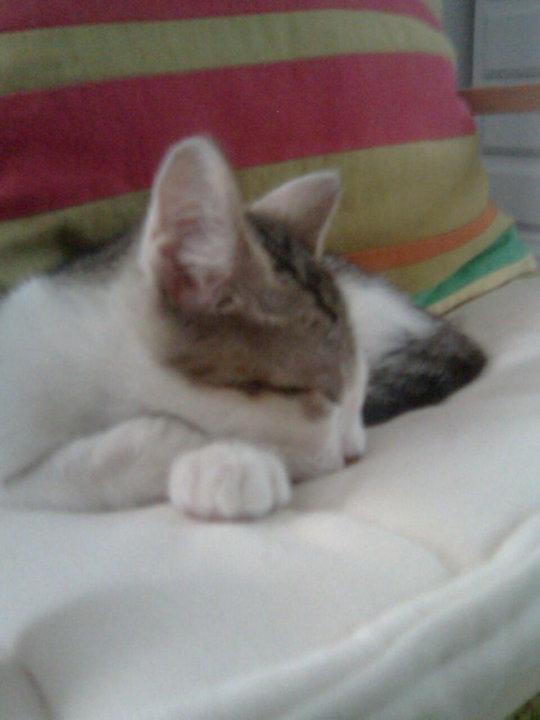 Adopción urgente para Lola, gatita de año y medio. Ya no la quieren Madrid Lola410