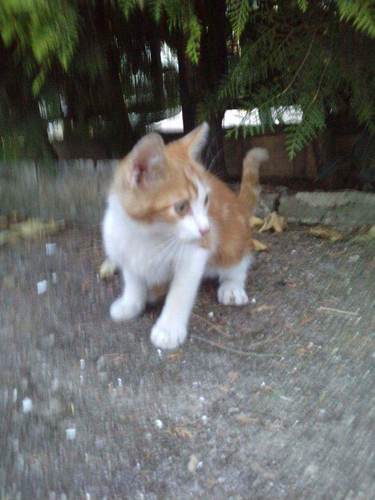 Nino, gatito de 2 meses en barrio marginal en Sevilla URGEEE Nino110