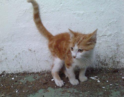 Nino, gatito de 2 meses en barrio marginal en Sevilla URGEEE Nino13