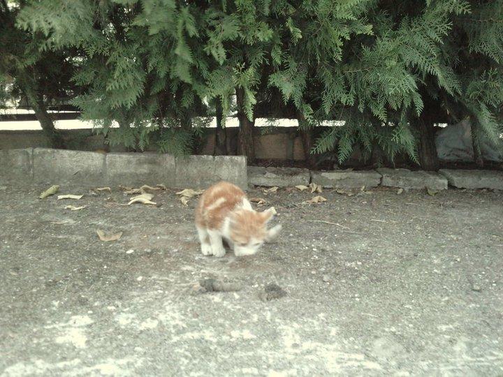 Nino, gatito de 2 meses en barrio marginal en Sevilla URGEEE Nino210