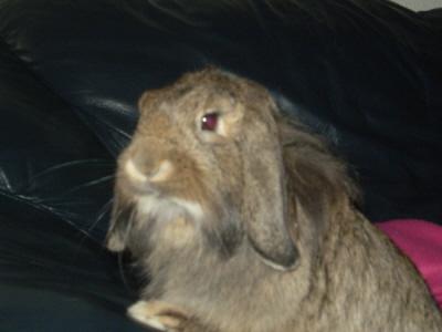 ROSALIE  petite lapine bélier P1010219