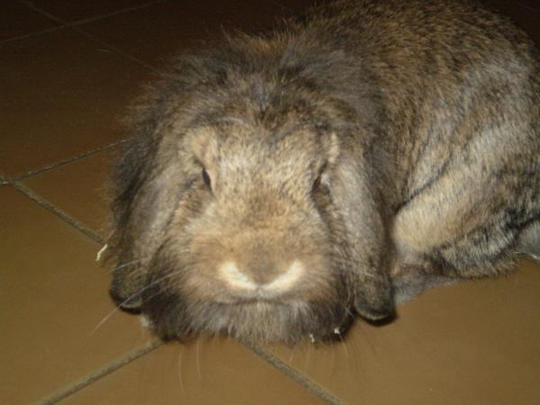 ROSALIE  petite lapine bélier P1010220