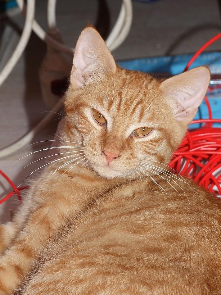 2 chatons roux 3 mois et demi Dscf2510
