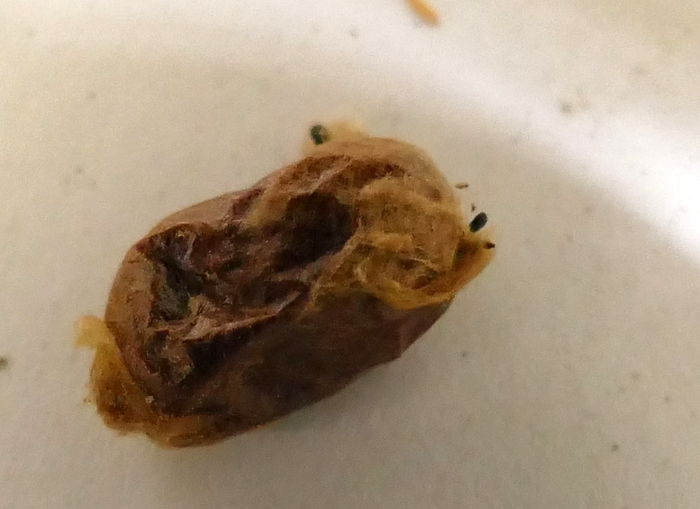 [Osmia cornuta] et hôtels pour insectes. et naissance ... 005-0012