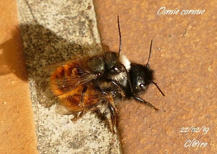 [Osmia cornuta] et hôtels pour insectes. et naissance ... 1_a23